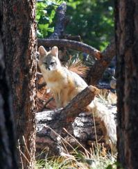 Forest Lakes Fox