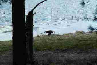 Eagle at the lake